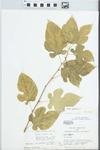 Morus alba L. by S. C. Mueller