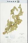 Morus alba L. by Larry Dennis