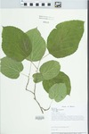 Morus alba var. alba by John E. Ebinger and Loy R. Phillippe