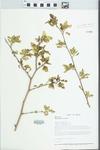 Morus alba L. by Paul B. Marcum and Loy R. Phillippe