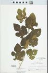 Morus alba var. alba by Bob Holeman