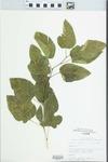 Morus alba L. by Douglas J. Haug