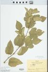 Morus alba var. alba by Bart Moore
