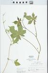 Humulus japonicus Siebold & Zucc.