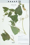 Humulus lupulus L. by Loy R. Philippe
