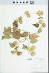 Humulus lupulus L. by Douglas J. Haug