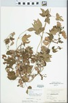 Humulus lupulus L. by George Neville Jones