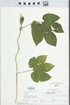 Humulus lupulus L. by Larry Dennis