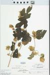 Humulus lupulus L. by John E. Ebinger