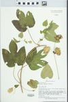 Humulus lupulus L. by Mary Ann Feist, Loy R. Philippe, Connie Carroll, and Greg Spyreas