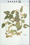 Humulus lupulus L. by Bob Edgin