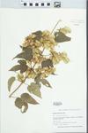 Humulus americanus Nutt.