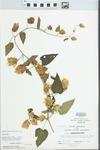 Humulus lupulus L. by John Gerard