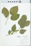 Maclura pomifera (Raf.) Schneid. by Mary C. Hruska
