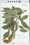 Maclura pomifera (Raf.) Schneid. by Loy R. Phillippe and John E. Ebinger