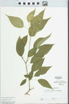 Maclura pomifera (Raf.) Schneid. by R. W. Nyboer