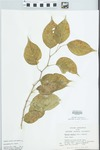 Maclura pomifera (Raf.) Schneid. by S. C. Mueller