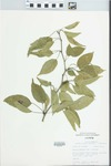 Maclura pomifera (Raf.) Schneid. by Douglas J. Haug
