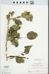 Maclura pomifera (Raf.) Schneid. by John Gerard