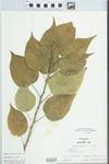 Maclura pomifera (Raf.) Schneid. by W. McClain
