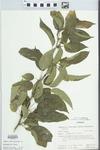 Maclura pomifera (Raf.) Schneid. by H. M. Parker