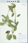 Maclura pomifera (Raf.) Schneid. by Kerry Barringer