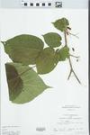Morus rubra L. by John Gerard