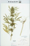 Cannabis sativa L. by Bill Zales