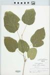 Morus alba L. by H. M. Parker