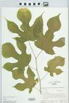 Morus rubra L. by H. M. Parker
