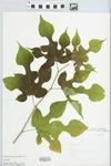 Morus rubra L. by L. Horton