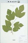Morus rubra L. by Matthew E. Brooks