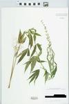 Cannabis sativa L. by John E. Ebinger