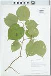 Morus rubra L. by Loy R. Phillippe, Connie Carroll-Cunningham, Richard L. Larimore, and Danielle Ruffatto