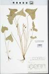 Viola brittoniana var. pectinata (E.P. Bicknell) Alexander by Edwin Hubert Eames
