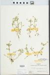 Viola rafinesquii Greene by Ernest L. Stover