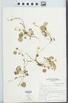 Viola sempervirens Greene