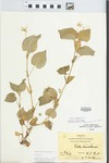Viola striata Aiton by Hiram F. Thut and J. T. McGinnis