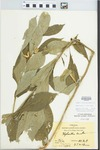 Hybanthus concolor (T.F. Forst.) Spreng. by Hiram F. Thut and J. T. McGinnis