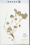 Viola striata Aiton