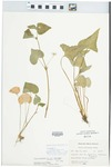 Viola pubescens var. eriocarpa (Schwein.) N.H.Russell by Julian O. Neill