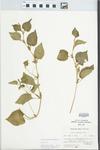 Viola striata Aiton by Julian O. Neill