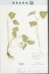 Viola pubescens Aiton by L. Kloker