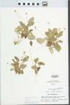 Viola primulifolia L.
