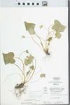 Viola sororia Willd. by W. Pichon and Hampton Parker