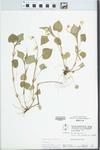 Viola striata Aiton by W. Pichon and Hampton Parker