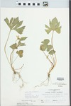 Viola triloba var. dilatata (Elliot) Brainerd by Randy W. Nyboer
