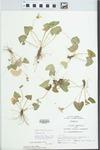 Viola pratincola Greene