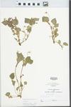 Viola striata Aiton by John E. Ebinger