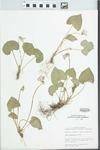 Viola pratincola Greene by Mary C. Hruska